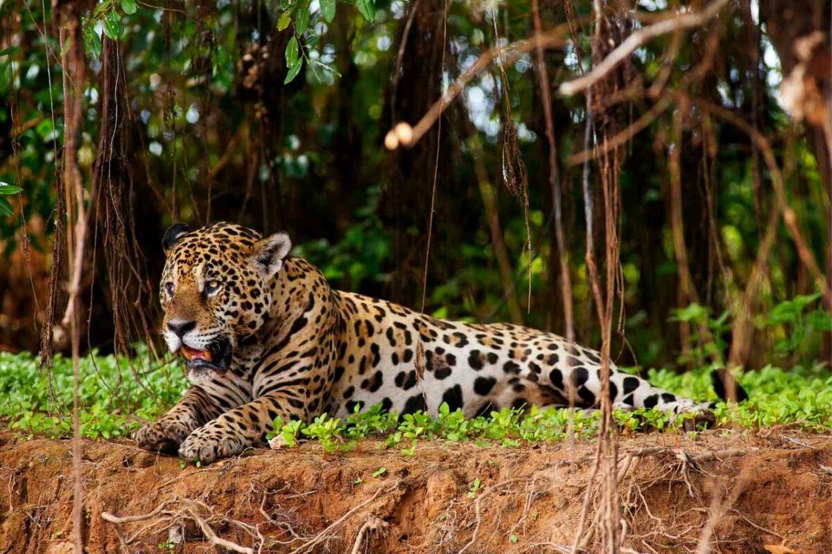 Jaguar in the Pantanal area of Brazil