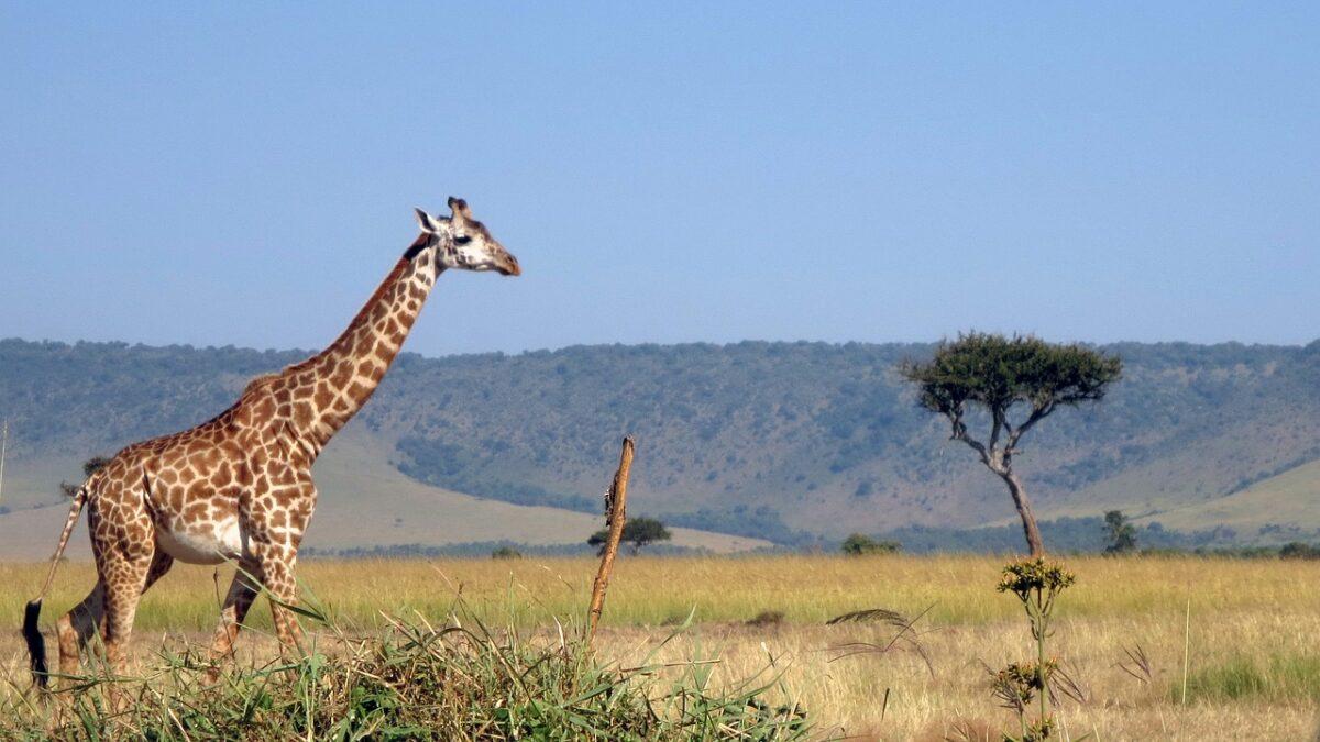 Masai Mara Safari - Giraffe