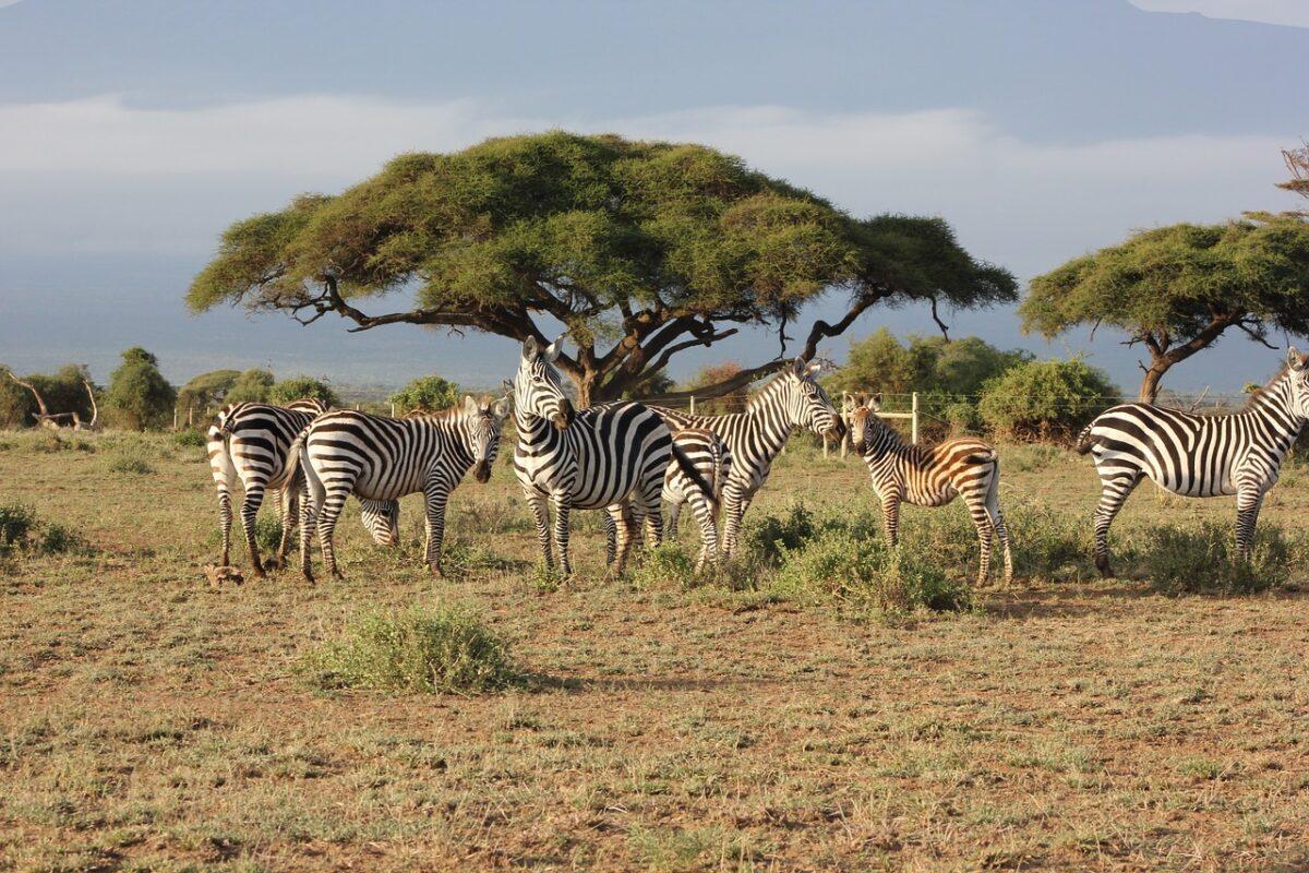 Masai Mara Safari - Zebra
