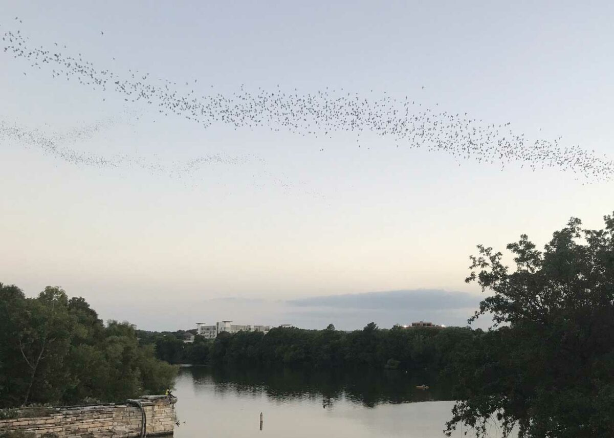 Congress Avenue Bats in Austin, Texas