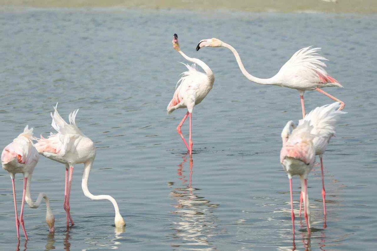 Flamingos in the United Arab Emirates