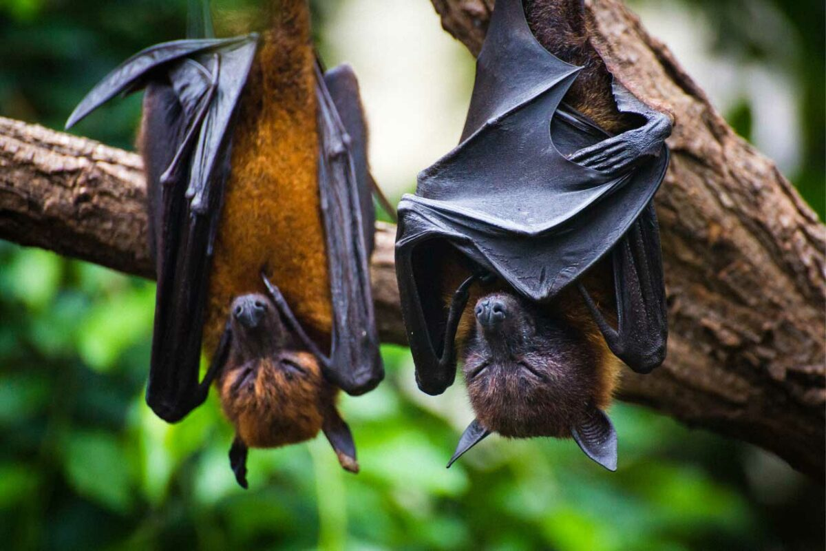 Flying foxes, a type of bat, in the Kakadu National Park