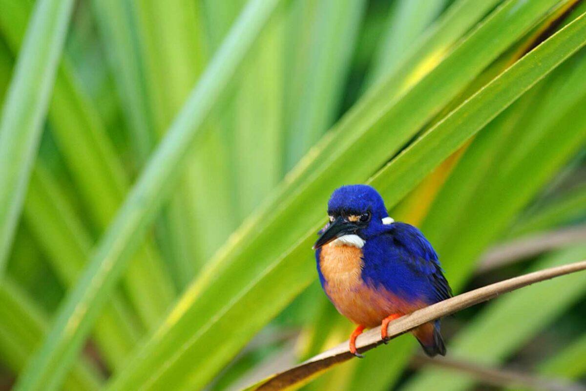 Common Kingfisher in the Kakadu National Park