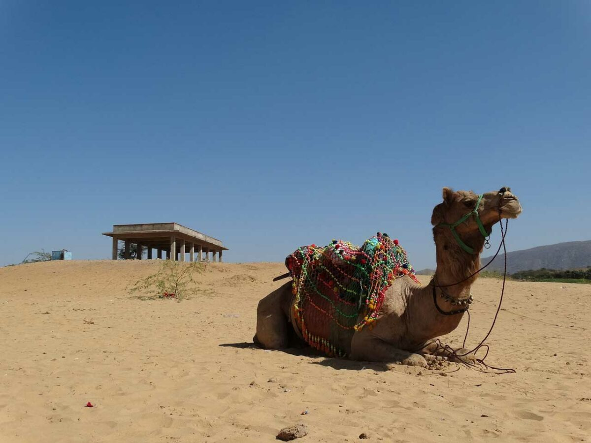 Pushkar camel, India