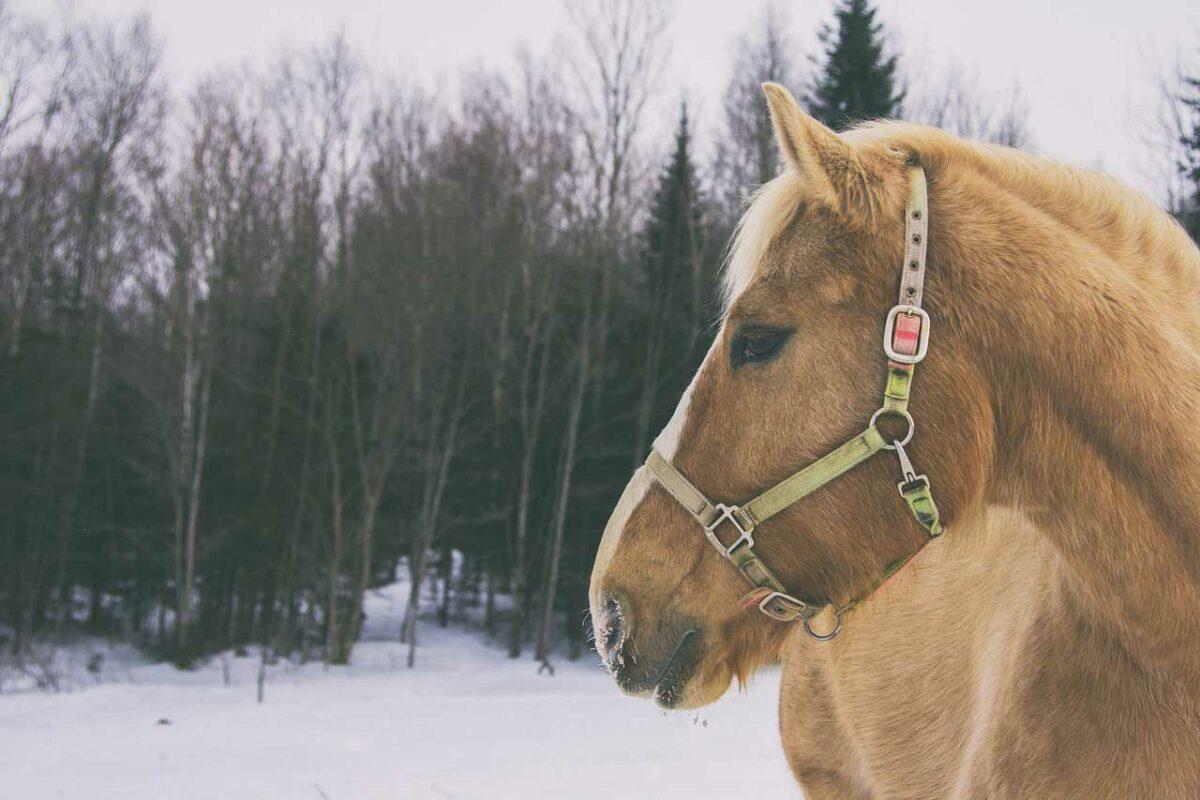 Horse in Quebec, Canada