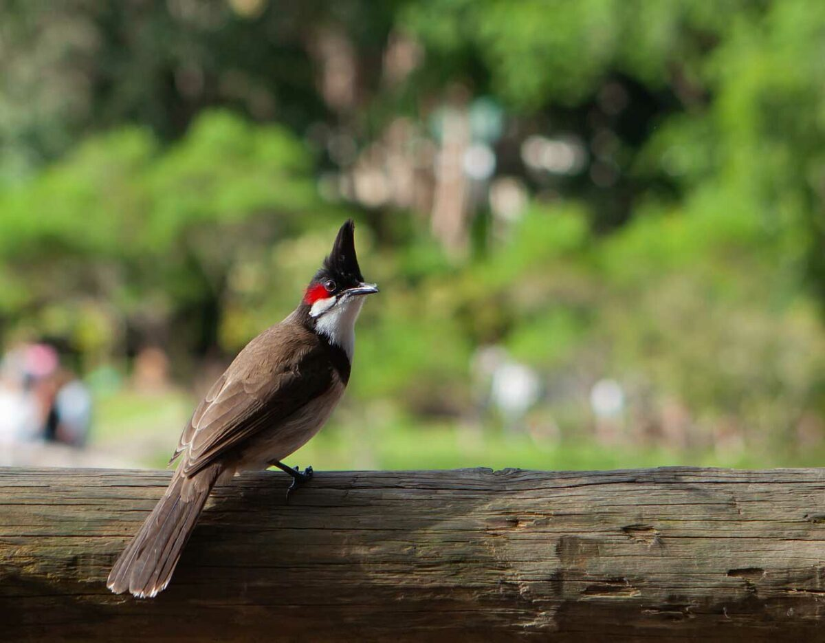 Red-whiskered bulbul, bird in Mauritius