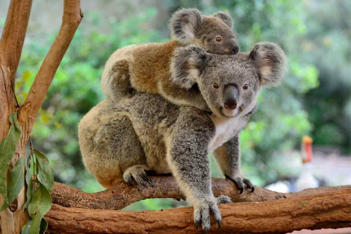 Koala baby and parent