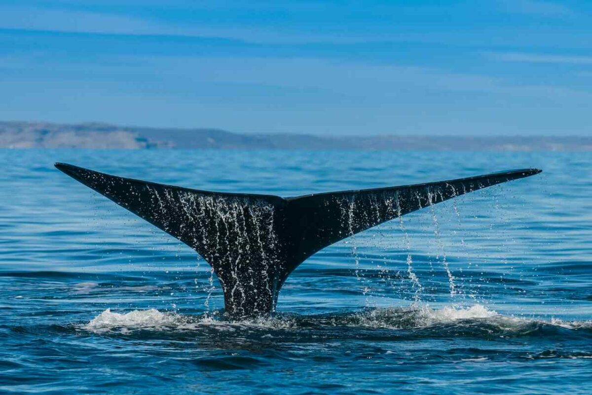 Orca tail, Patagonia