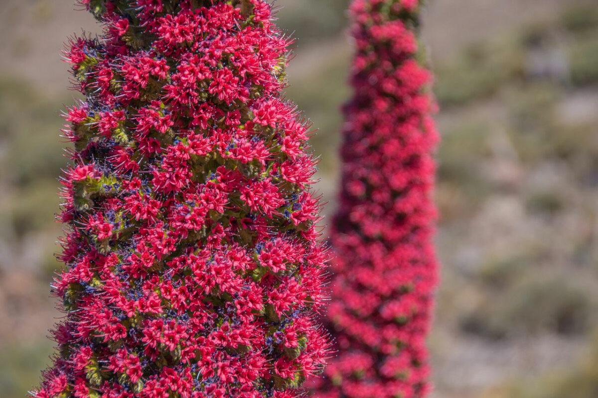 Plant on Tenerife