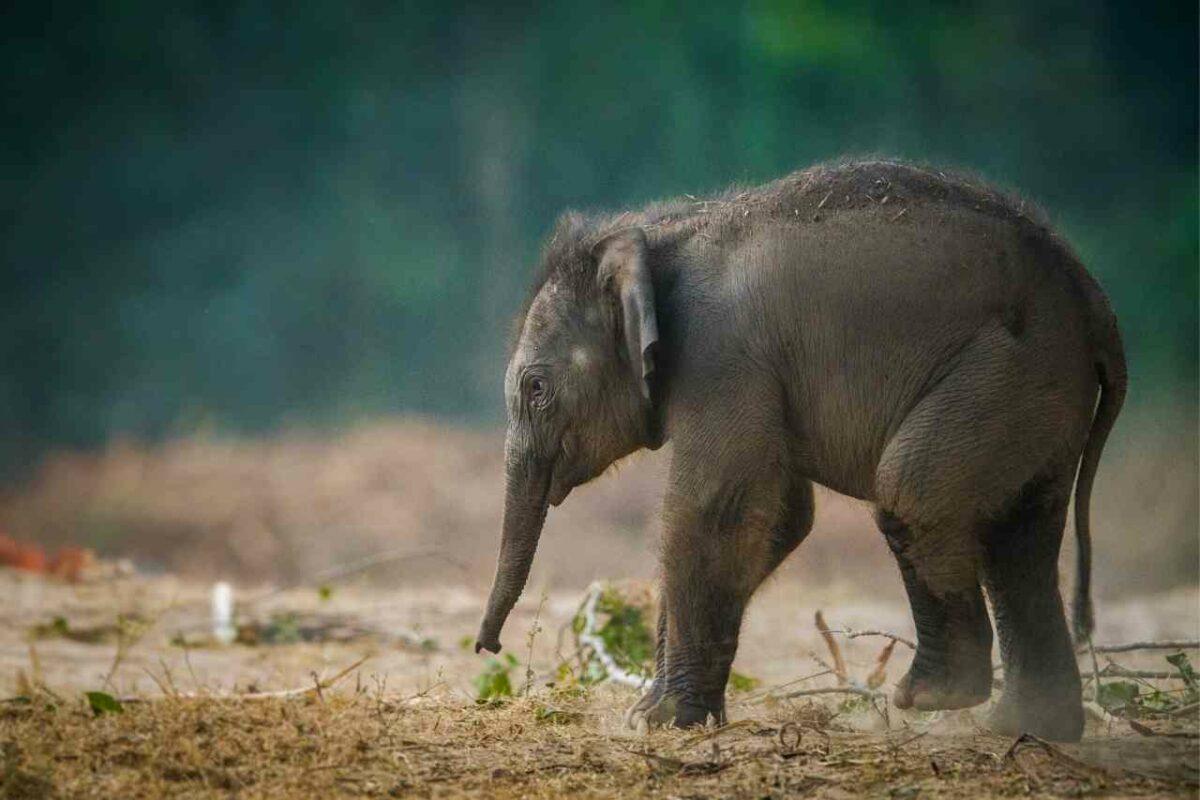 Baby Elephant, Jim Corbett National Park, India