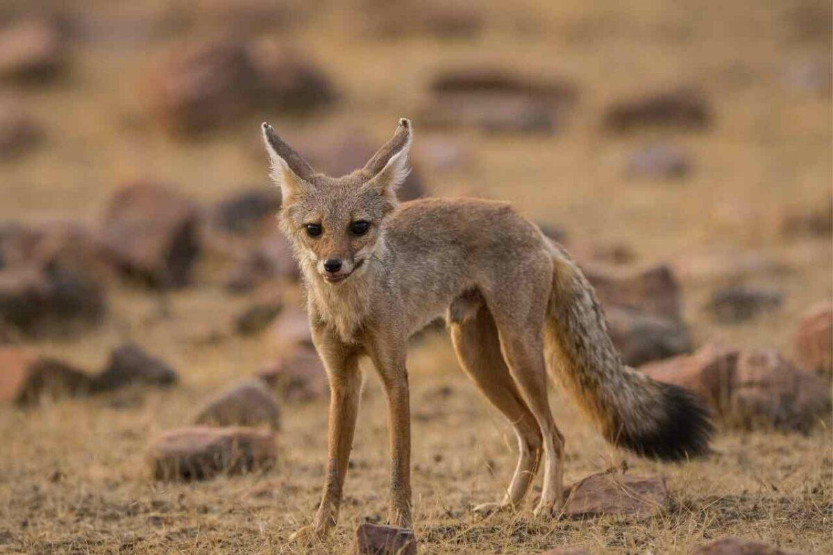 Fox Cub, Oberoi Vanya Vilas, Ranthambore