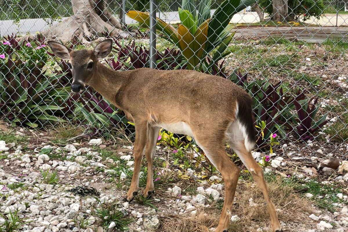 Key Deer on Big Pine Key