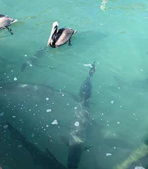 Pelicans and Tarpon at Robbie's
