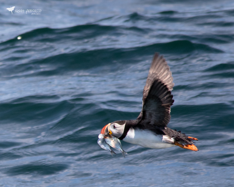 Atlantic puffin with fish