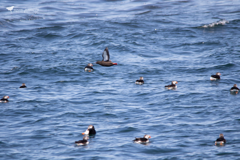 A raft of Atlantic puffins, with a black guillemot flying above