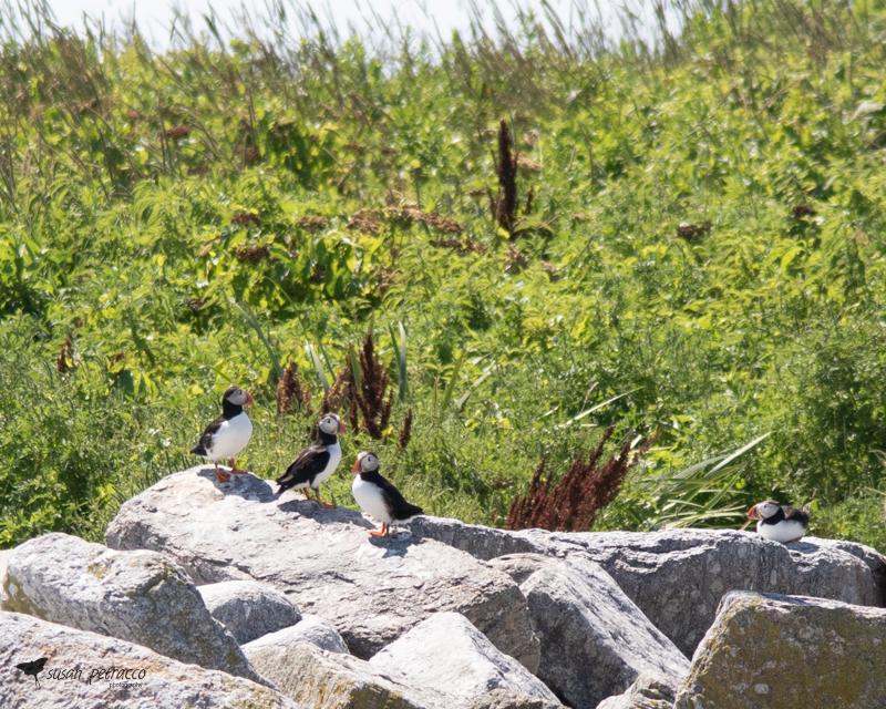 Atlantic puffins on Eastern Egg Rock