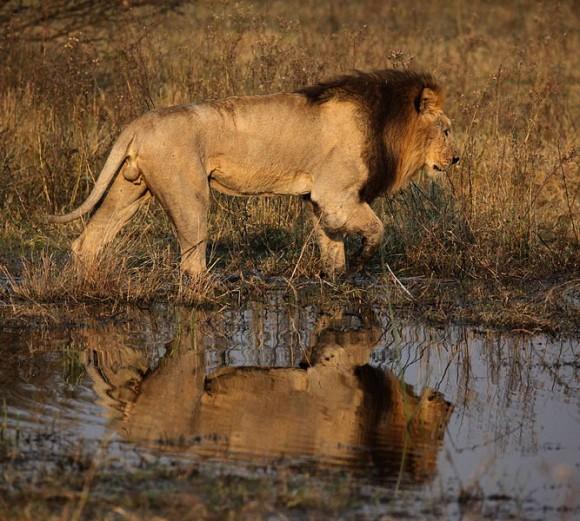 Male Lion, Botswana