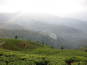 Tea Plantation, Darjeeling