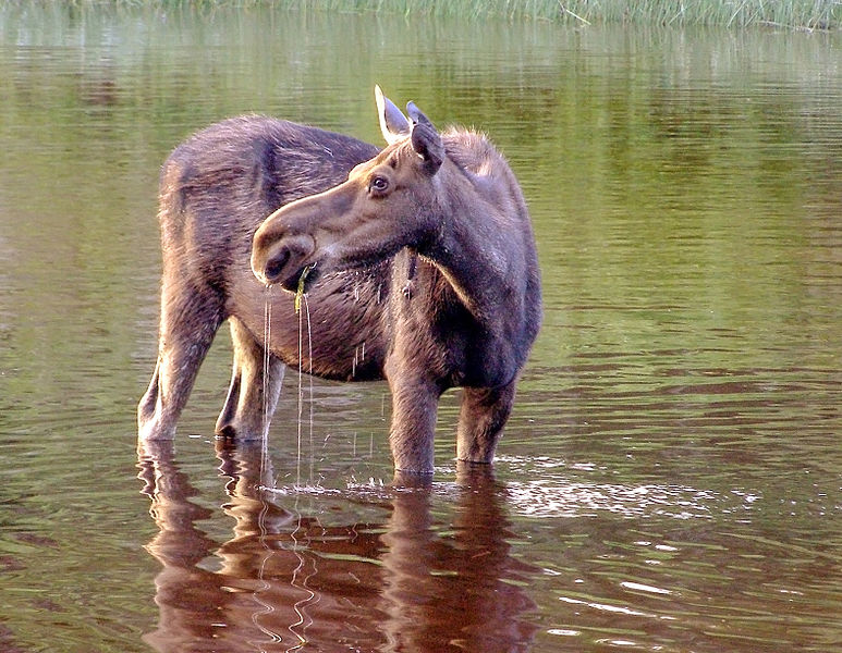 A Moose in Isle Royale