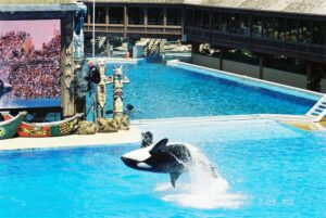 Shamu at SeaWorld