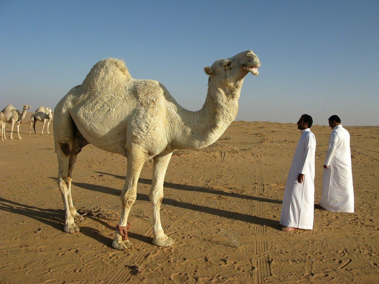 Camel in Saudi Arabia