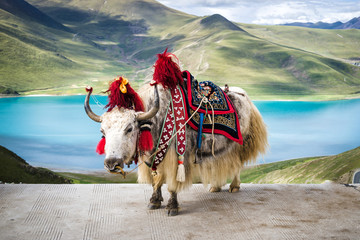 Yaks enjoying the freedom that this time of the year offers